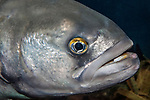 Bluefish swimming right, close-up