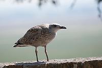 Heringsmöwe, Jungtier, juvenil, Herings-Möwe, Heringsmöve, Möwe, Larus fuscus, Lesser Black-backed Gull, Goéland brun