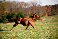 American Quarter horse running in field of grass late winter early spring