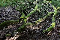 GERMANY, Ruegen, beech forest / DEUTSCHLAND, Mecklenburg-Vorpommern, intakter Wald, Laubwald mit Buchen im Nationalpark Jasmund, Totholz und Schachtelhalm