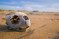 skull of loggerhead turtle, Caretta caretta, washed up dead - possibly caught as bycatch and thrown back to the ocean - as many as 17 of these turtles wash up dead as bycatch in the gill-net and long-line fisheries each day along the Pacific Coast beaches of Isla Magdalena, Mexico, Pacific Ocean