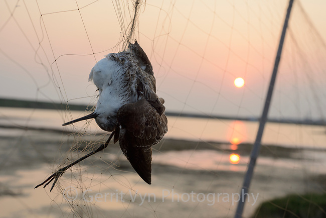 A dead Marsh Sandpiper hangs in a poachers mist net in Guangdong Province, China. Hunters trap birds during migration but leave their nets up year-round indiscriminately killing many birds. Qiantangzhen, China. March.
