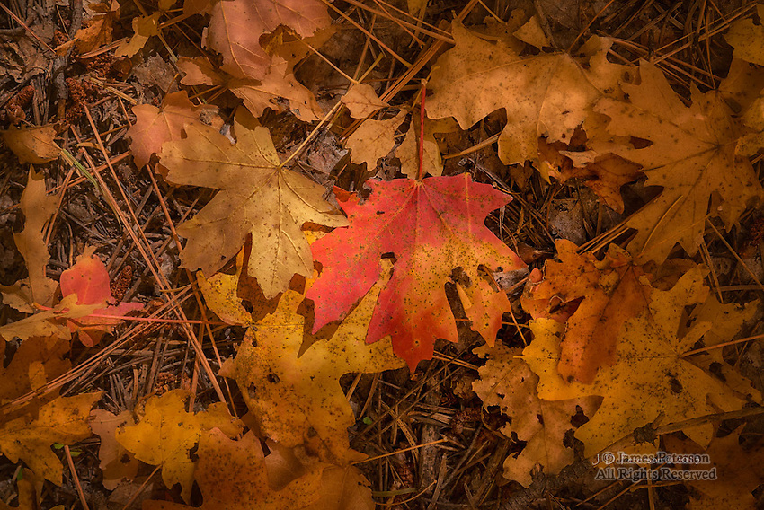 Maple Leaves, West Fork of Oak Creek Canyon, Arizona