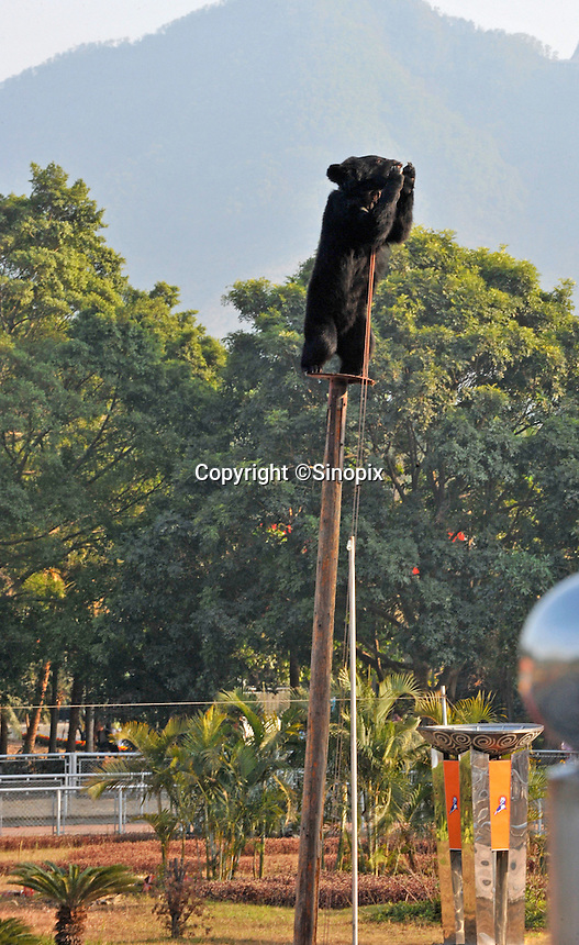 Asiatic brown are forced to climb poles at the beginning of a show where bears are abused during a Lunar New Year special event at Xili Safari Park, Shenzhen, China.  The bears are forced to march, race bicycles, do gymnastics, wrestle, and even ride a motor-bicycle 20 meters above the crowd.  ..PHOTO BY SINOPIX
