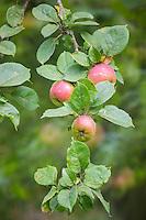 France, Calvados (14), Pays d' Auge, env de Beuvron-en-Auge, Pommes à cidre, Pommes Blanchet  // France, Calvados, Pays d' Auge, near Beuvron en Auge,   Cider apple:   Blanchet