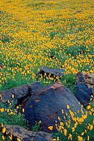 Mexican goldpoppy<br /> Saddle Mountain<br /> Harquahala Valley<br /> Sonoran Desert,  Arizona