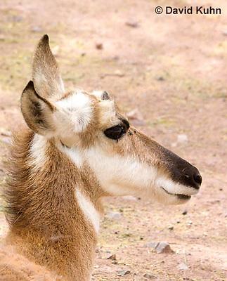 0606-1110  Pronghorn (Prong Buck) in Sonoran Desert, Antilocapra americana  © David Kuhn/Dwight Kuhn Photography