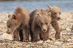 USA, Alaska, Katmai National Park, brown bear (Ursus arctos)
