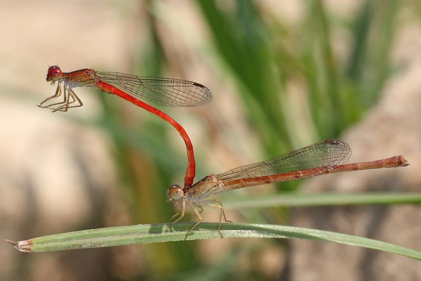 Mating pair of Desert Firetail Damselflies (Telebasis salva).