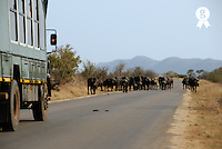 Safari truck stopped by a herd of African buffaloes (Syncerus caffer) standing on the road, Kruger National Park, South Africa (Licence this image exclusively with Getty: http://www.gettyimages.com/detail/82406693 )