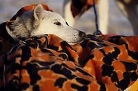 Close up of Jim Lanier's Dog -Uma- at Galena