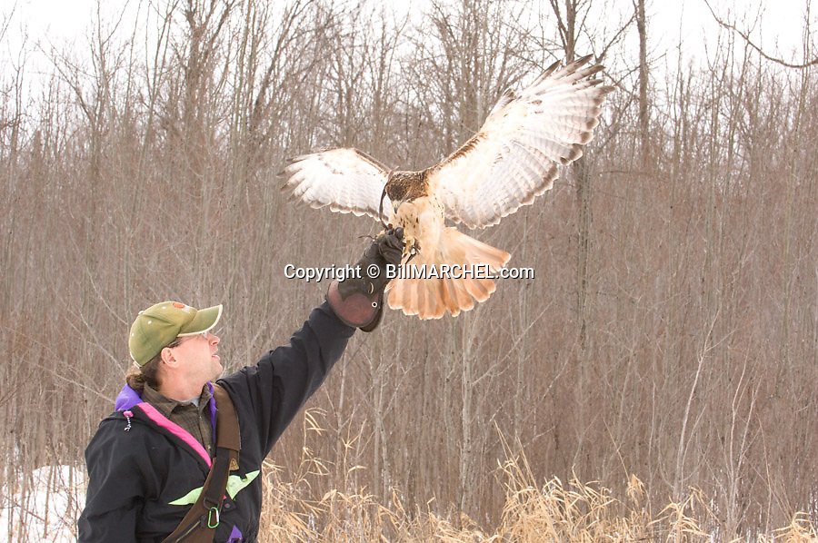 00432-028.09 Falconry (DIGITAL) Red-tailed hawk is about to land on the gloved fist of a falconer.  Raptor, bird of prey.  H4R1