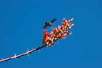 Carpenter bee, Xylocopa sp., approaching ocotillo flowers, Fouquieria splendens. Organ Pipe Cactus National Monument, Arizona.