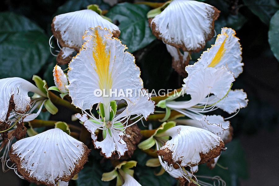 Flor Camoensia no Jardim Botânico ( Camoensia scandens). RJ. Foto de Luciana Whitaker.