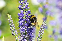 Erdhummel, Bombus spec., Bombus, Bombus terrestris-aggr., Bombus terrestris s. lat., bumble bee