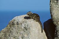 California Ground Squirrel (Spermophilus Beecheyi)