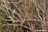 0117-08nn  Camouflaged Juvenile Black-crowned Night Heron in Tree, Resting With Head Tucked In - Nycticorax nycticorax © David Kuhn/Dwight Kuhn Photography