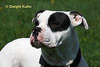 SH40-640z  American Bulldog, Close-up of face,  Canis lupus familiaris