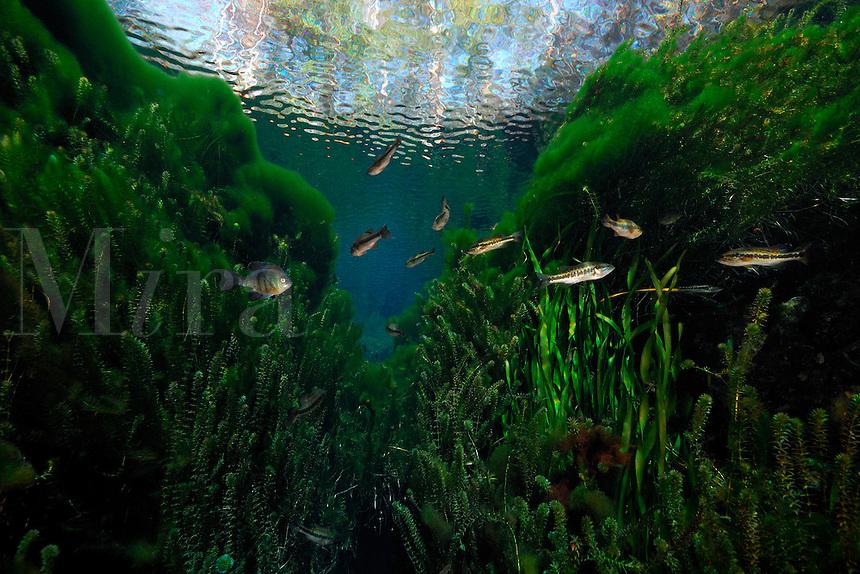 Bluegill, Lepomis macrochirus, and Largemouth bass, Micropterus salmoides, Wacissa river, Florida