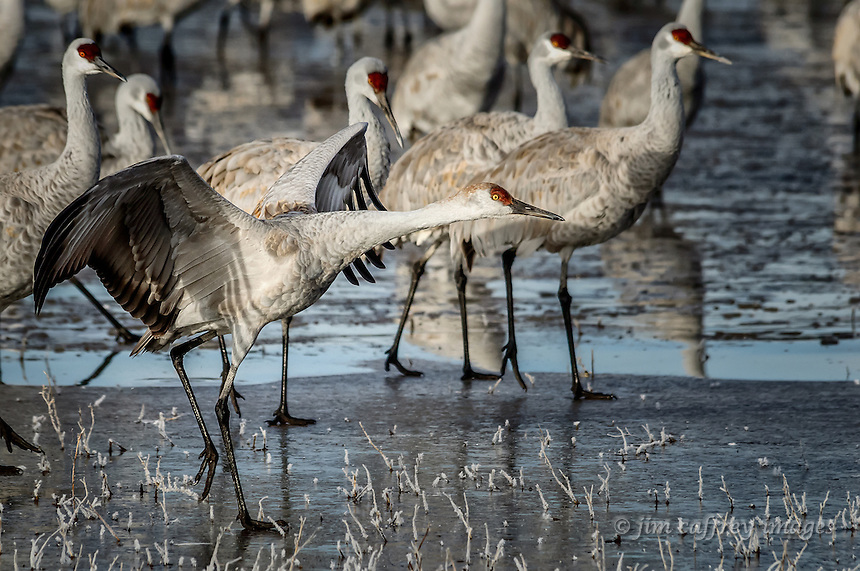 A Sandhill Crane prepares to take flight from an icy pond on a winter morning at Bosque del Apache National Wildlife Refuge.