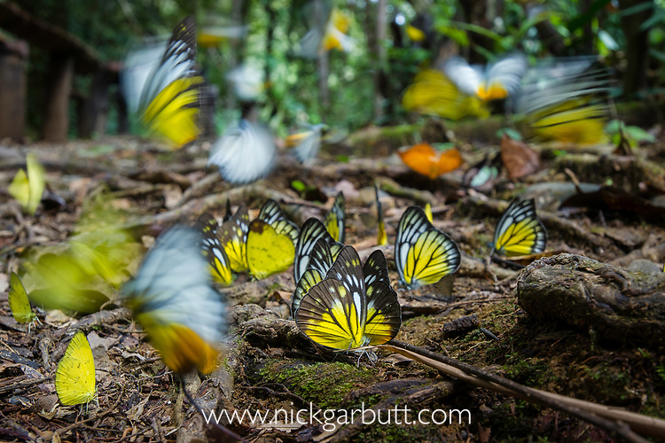 Aggregation of butterflies - mainly Bornean sawtooth (Prioneris cornelia), Yellow emigrant (Catopsilia scylla) and Orange gull (Cepora iudith) taking minerals from damp area on rainforest floor. Temburong National Park, Brunei, Borneo.