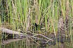 Virginia rail chick hidden in the vegetation