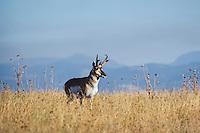 Pronghorn Antelope (Antiloapra americana) buck, Western U.S., fall.