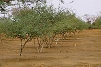 Gum Arabic.  Row of Acacia Senegal tree in a gum Arabic plantation, Niger, West Africa.