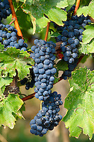 Red grapes on the vines of Villany  ( Villany  ) vineyards, Hungary.