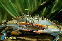 1Y34-076a  Blue Crab - Callinectes sapidus.