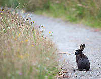 Discovery Park, like many Seattle parks, has a resident population of bunnies that were originally released by pet owners.