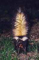 Striped Skunk, Mephitis mephitis, adult in defensive pose, Welder Wildlife Refuge, Sinton, Texas, USA, April 2005