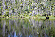 Nancy Brook Scenic Area - Moose on the edge of Nancy Pond in the White Mountain National Forest of New Hampshire USA.
