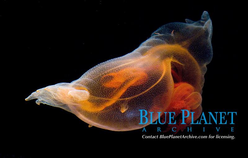 Pelagic sea cucumber, Enypnates exima Celebes Sea