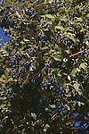 9461-CA Chinese Fringe Tree, fruit on branches, Chionanthus retusus, at Los Angeles Arboretum, Arcadia, CA USA
