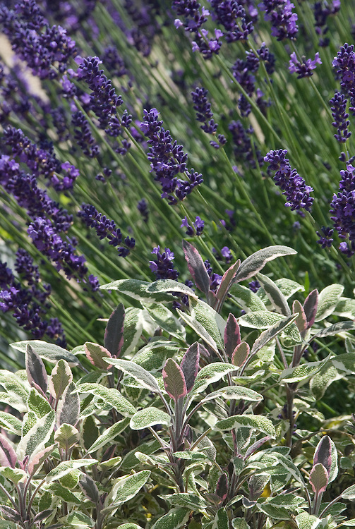 Variegated sage (Salvia 'Tricolour') and lavender, early July.