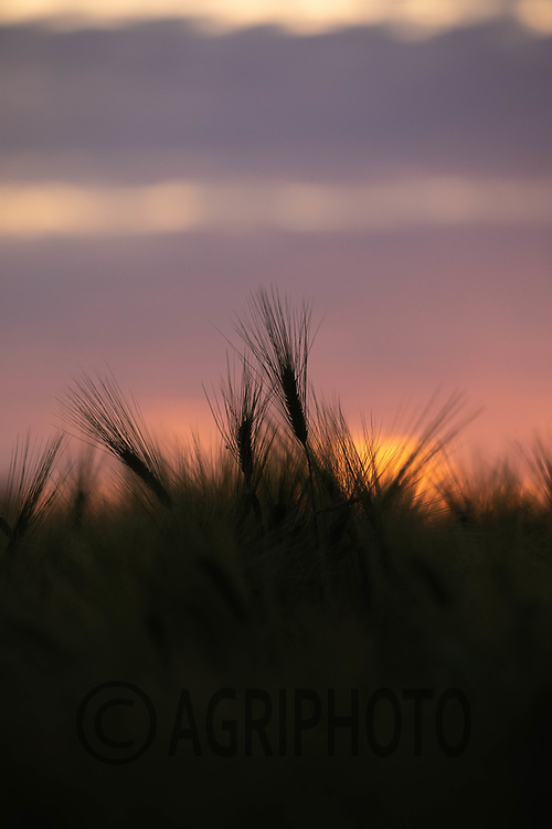 14-6-2021 Ears of Barley at sunset.<br /> ©Tim Scrivener Photographer 07850 303986<br />      ....Covering Agriculture In The UK....
