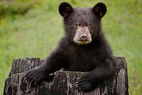 Baby Black Bear Cub climbing out of a hollow tree stump - CA