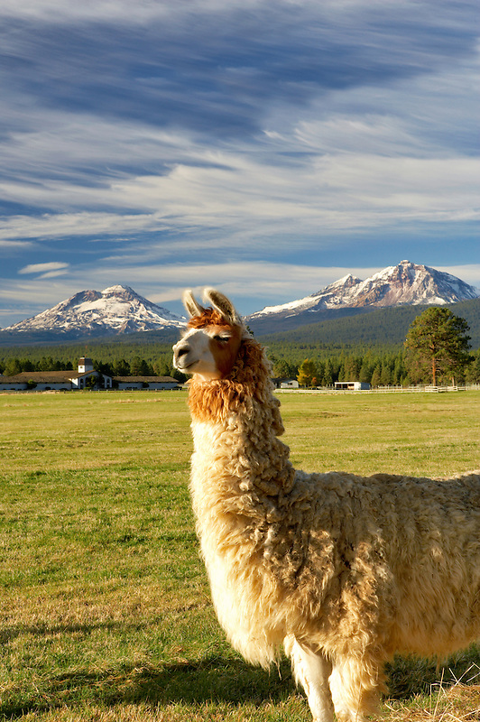 Llama on farm with Three Sisters Mountains. Oregon