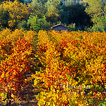 Autumn Vineyards, Silverado Trail, Calistoga, Napa Valley, California