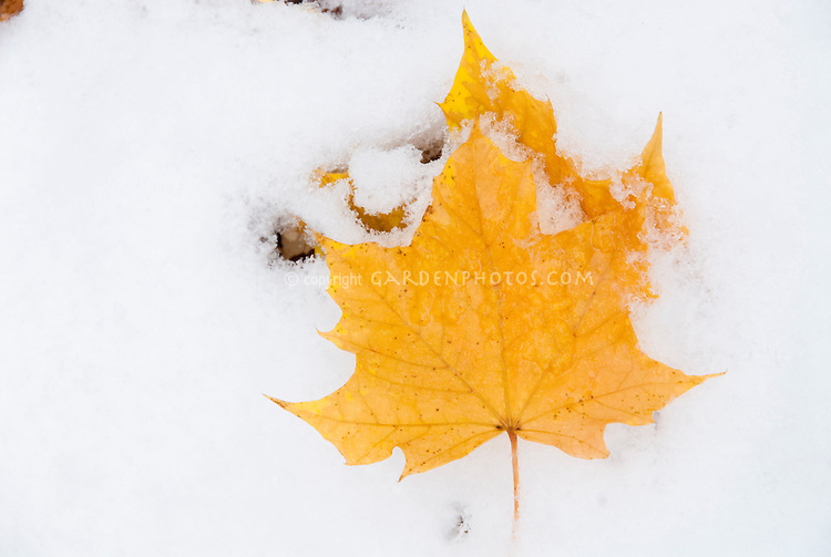 Fall foliage leaves of maple tree in early winter snow