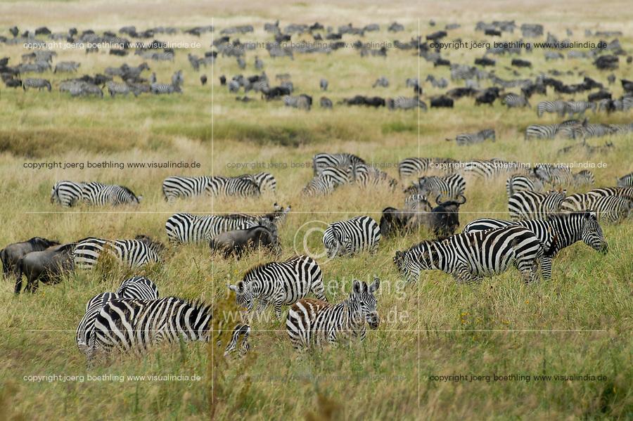 TANZANIA, Nationalpark Ngorongoro Crater near Arusha , grazing Zebra and wildebeest
