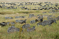 TANZANIA, Nationalpark Ngorongoro Crater near Arusha , grazing Zebra and wildebeest