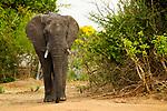 African Elephant (Loxodonta africana) bull, Kafue National Park, Zambia