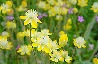 Cream Cups (Platystemon californicus) wildflowers with few filaree flowers in background.  California.  March.
