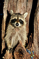 Raccoon, Procyon lotor, in nest in hollow tree with fresh purple grapes still on vine brought for eating and storage