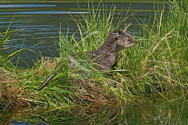 Young Northern River Otter (Lontra canadensis) pup on grassy log along edge of lake.  Western U.S., summer..