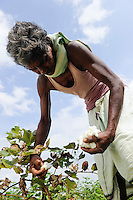 INDIA Odisha, fairtrade cotton farmer of Agrocel near Rayagada, farmer harvest cotton  Dongria Kondh tribe /<br /> INDIEN Orissa Raygada, fairtrade Baumwollbauer von Agrocel, Dorf Tumbiguda, Baumwollfarmer Gangulu Kondagori 60 Jahre