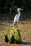 Damon, Texas; an immature, white and blue colored, little blue heron standing on a tree stump in the slough in late afternoon sunlight