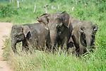 Small group / herd of female Asian Elephant (Elephas maximus). Udawalawe National Park, Sri Lanka.